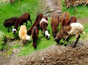 Ethiopian sheep