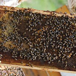 Honeybees hard at work.