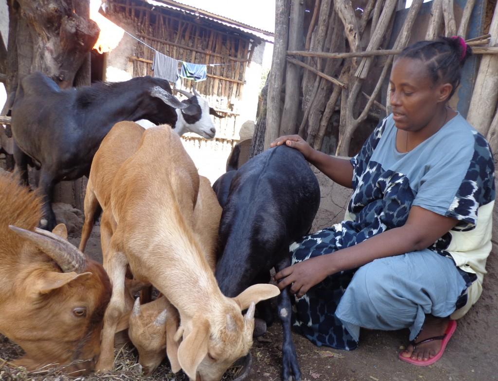 Woinshet Tefera feeding her goats