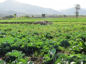 crops amidst drought Ethiopia